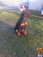 doberman pinscher puppy posted by cktebow