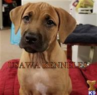 american bandogge mastiff puppy posted by claddison