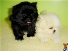 pekingese puppy posted by clamentbobby