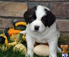 saint bernard puppy posted by clementdonald