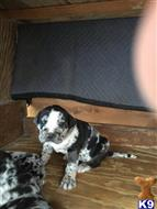catahoula puppy posted by cmanuel