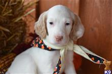 english setter puppy posted by cnckinder