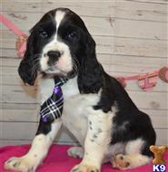 english springer spaniel puppy posted by cnckinder
