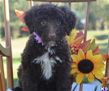 portuguese water dog puppy posted by cnckinder1