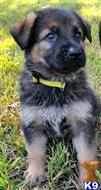 german shepherd puppy posted by colest