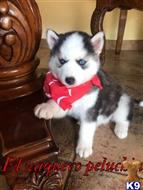 siberian husky puppy posted by condesa