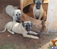 anatolian shepherd dog puppy posted by cowsetc