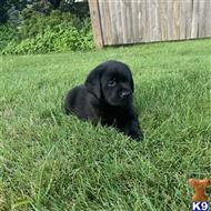 labrador retriever puppy posted by cperrynbrh