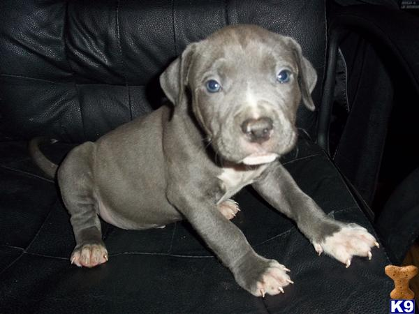 American Pit Bull Puppies in VA