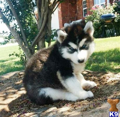 siberian husky puppy posted by crazymood