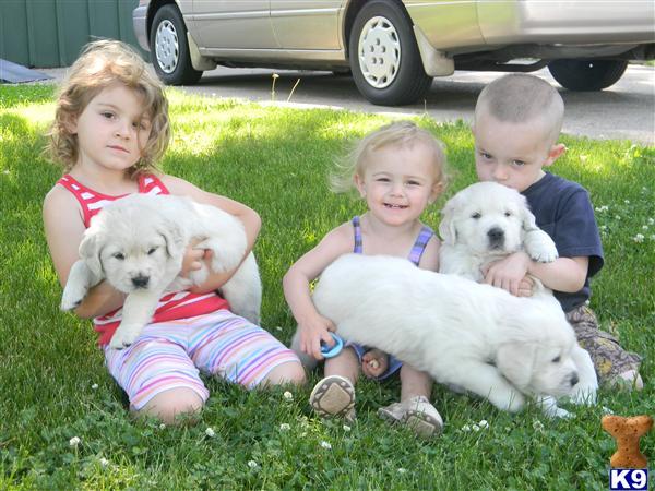 golden retriever puppies for sale in wisconsin. English Cream Golden Retriever Puppies