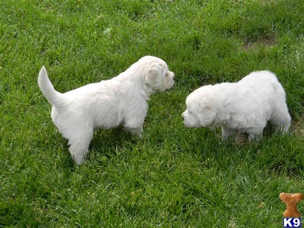 golden retriever puppies for sale in trinidad. hair Golden Retriever Puppies for golden retriever puppies for sale in ohio.
