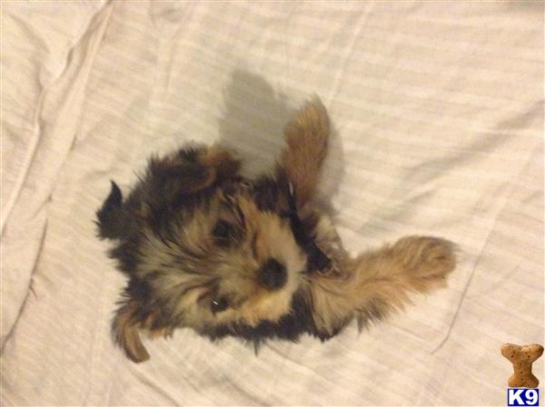 yorkie puppies north carolina yorkshire for sale north carolina cheap dog breeds picture