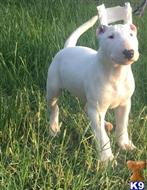 bull terrier puppy posted by crodr014