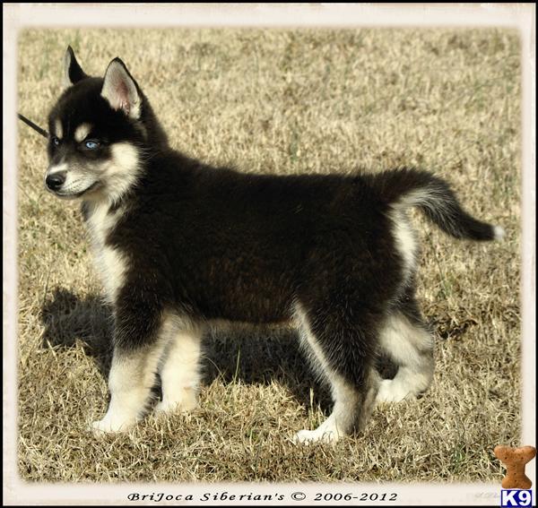 Siberian Husky Puppy for Sale: AKC Siberian Husky Male ...