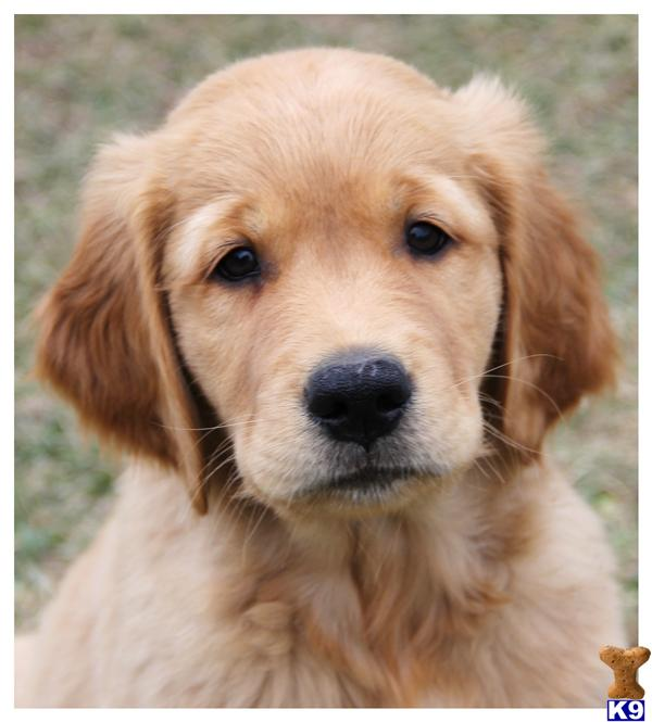 K 9 Golden Retriever Golden Retriever Puppy...