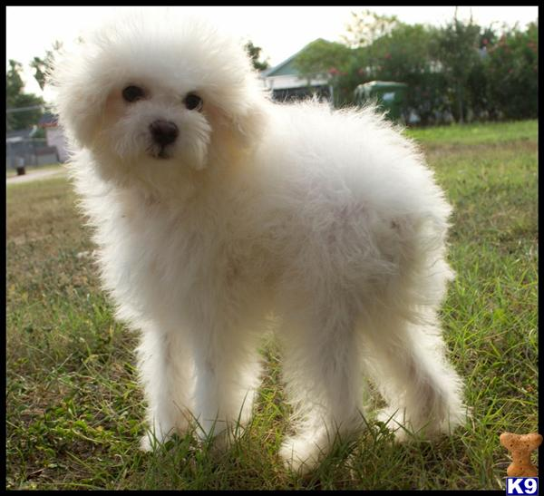 bichon frise puppy posted by cspuppies
