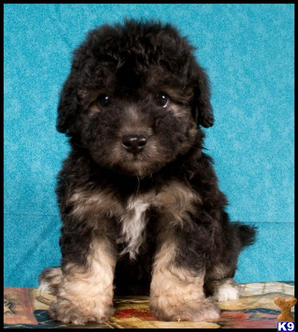Black And Brown Maltipoo Puppies | www.imgkid.com - The ...