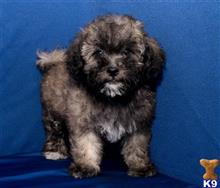 maltipoo puppy posted by cspuppies