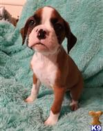 boxer puppy posted by cynthiamorgan