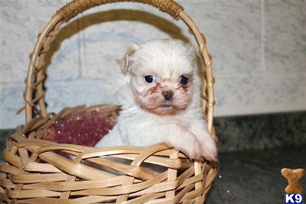 shih tzu puppy posted by dakota67888