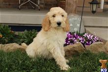 goldendoodles puppy posted by dakota67888
