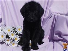 labradoodle puppy posted by dakota67888