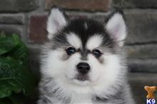 siberian husky puppy posted by dakota67888