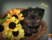 yorkshire terrier puppy posted by dakota67888