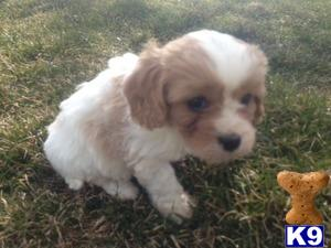 Cavalier King Charles Spaniel Puppies in OH