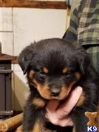 rottweiler puppy posted by dale g