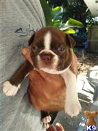 boston terrier puppy posted by dana71lee