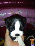 boston terrier puppy posted by danalee71