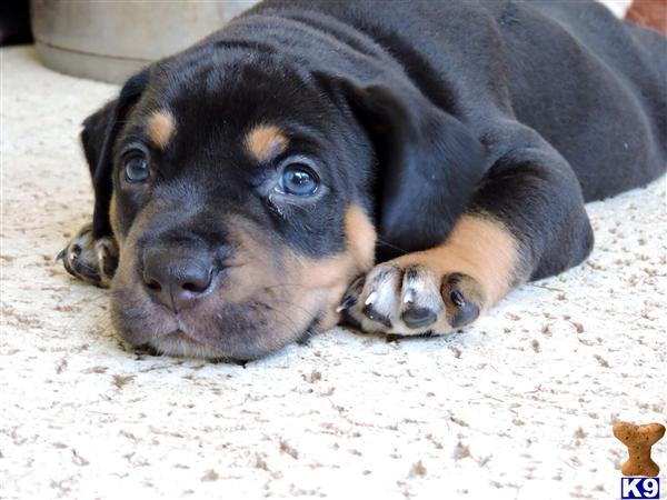 Catahoula Pups