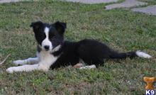 border collie puppy posted by danchezar11