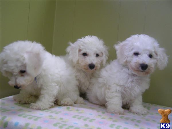 bichon frise puppy posted by dandg
