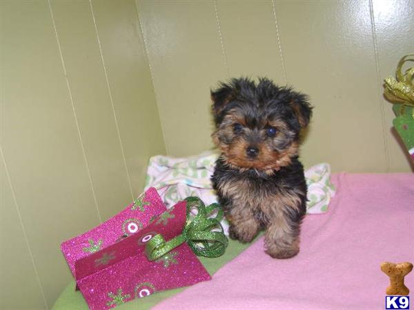 Yorkshire Terrier Nj Document Moved...