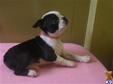 boston terrier puppy posted by dandg