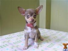 chihuahua puppy posted by dandg