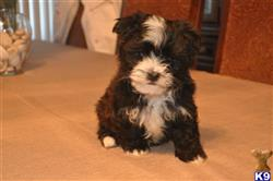 havanese puppy posted by danielpap