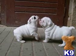 english bulldog puppy posted by daniscot
