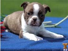 boston terrier puppy posted by dannielrichson