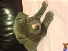 american pit bull puppy posted by davidbrandon2002