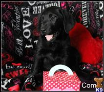 labrador retriever puppy posted by dawnharvell