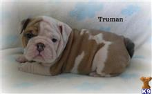 english bulldog puppy posted by dawnlittle2035