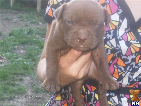 American Pit Bull Puppies in IL