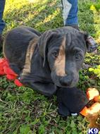 labrador retriever puppy posted by dchattle99