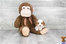 cavalier king charles spaniel puppy posted by dcpuppies