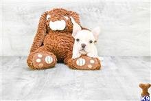 french bulldog puppy posted by dcpuppies