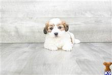 mixed breed puppy posted by dcpuppies